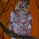 A Spotted Owl